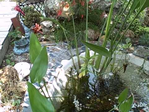 Bathtub pond youtube for Bathtub fish pond