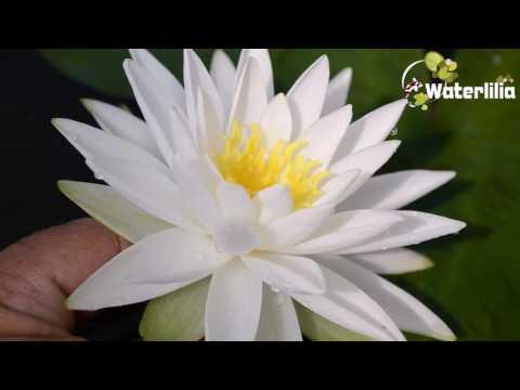 Водяная лилия Белая Сенсация Nymphaea White Sensation
