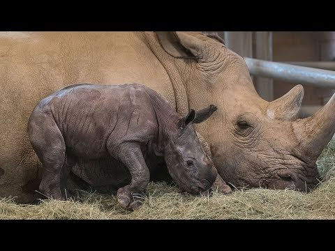 White rhinos team up to save subspecies from brink of extinction