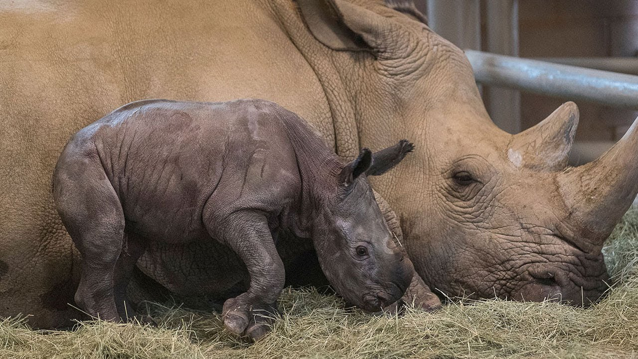 Historic': Southern White Rhino Conceived Artificially Is