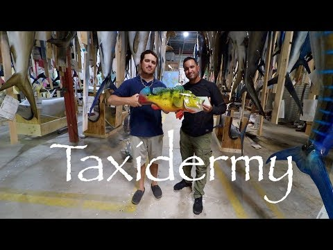 TROPHY Peacock Bass Immortalized! Gray Taxidermy TOUR!!