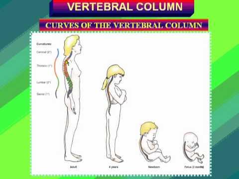 1 Curves of vertebral column د / احمد مصطفى كمال