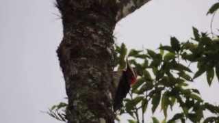 Pica Pau Rei - Nome Científico - Campephilus robustus - em Inglês Robust Woodpecker