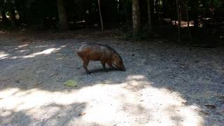 Lone wild boar near Punai Hut