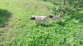 Puppies English Mastiff ,Щенки английского мастифа 4