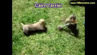 Cairn Terrier, Puppies, For, Sale, In, Louisville,county, Kentucky, Ky,  Richmond, Florence, Georget