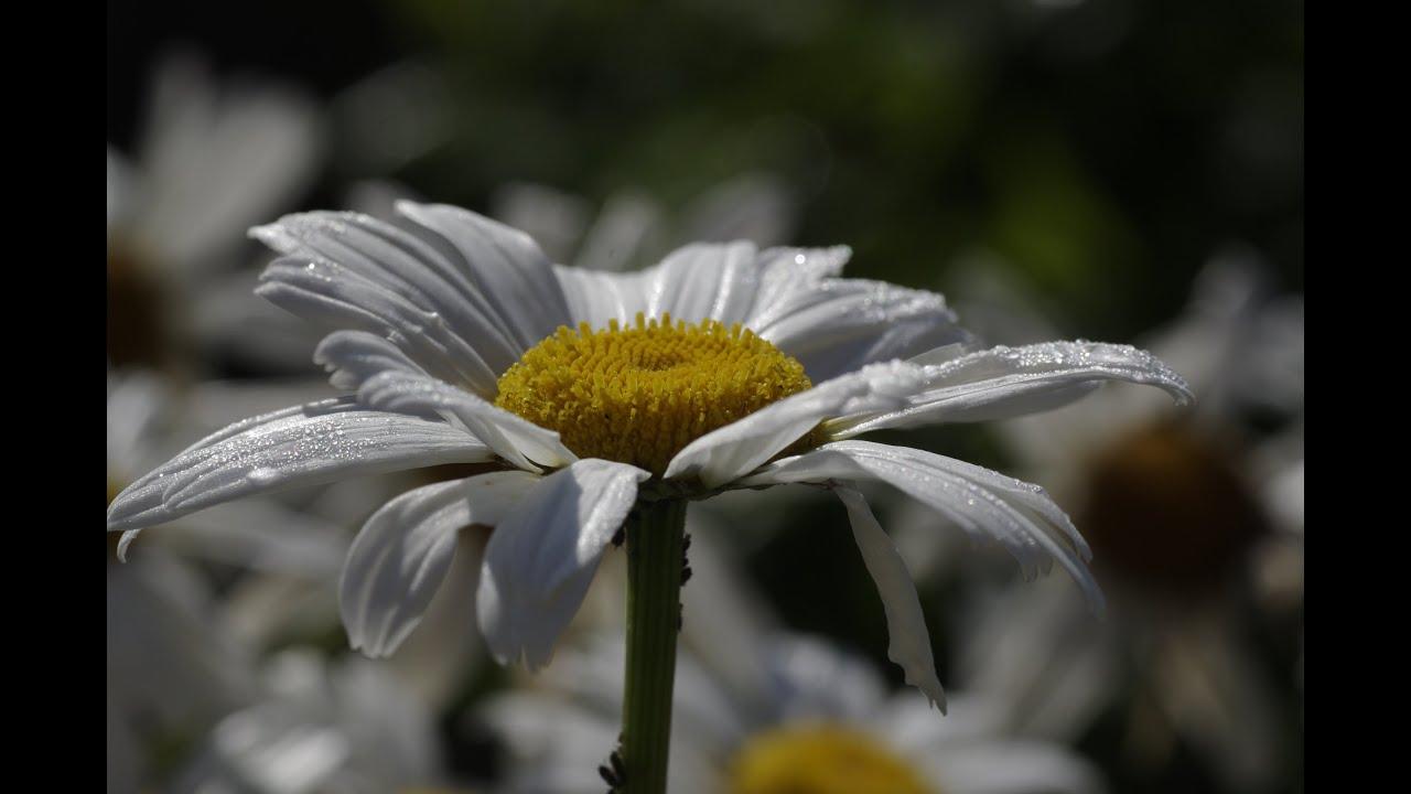 Слова песни полевые цветы