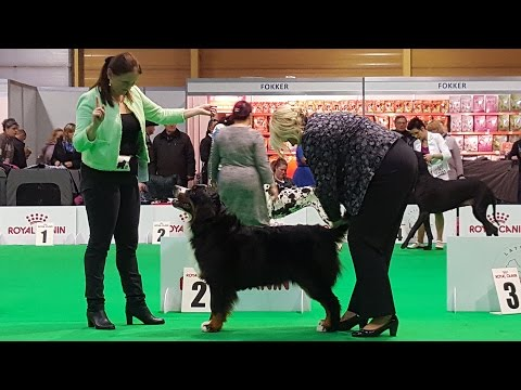 BERNESE MOUNTAIN DOG. Part 3 of 4. ZooExpo 2016 FCI CACIB Dog Show
