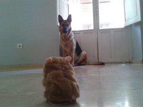 German Shepherd vs Talking Hamster