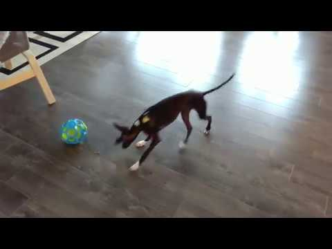 Italian Greyhound Puppy Plays with Food Puzzle