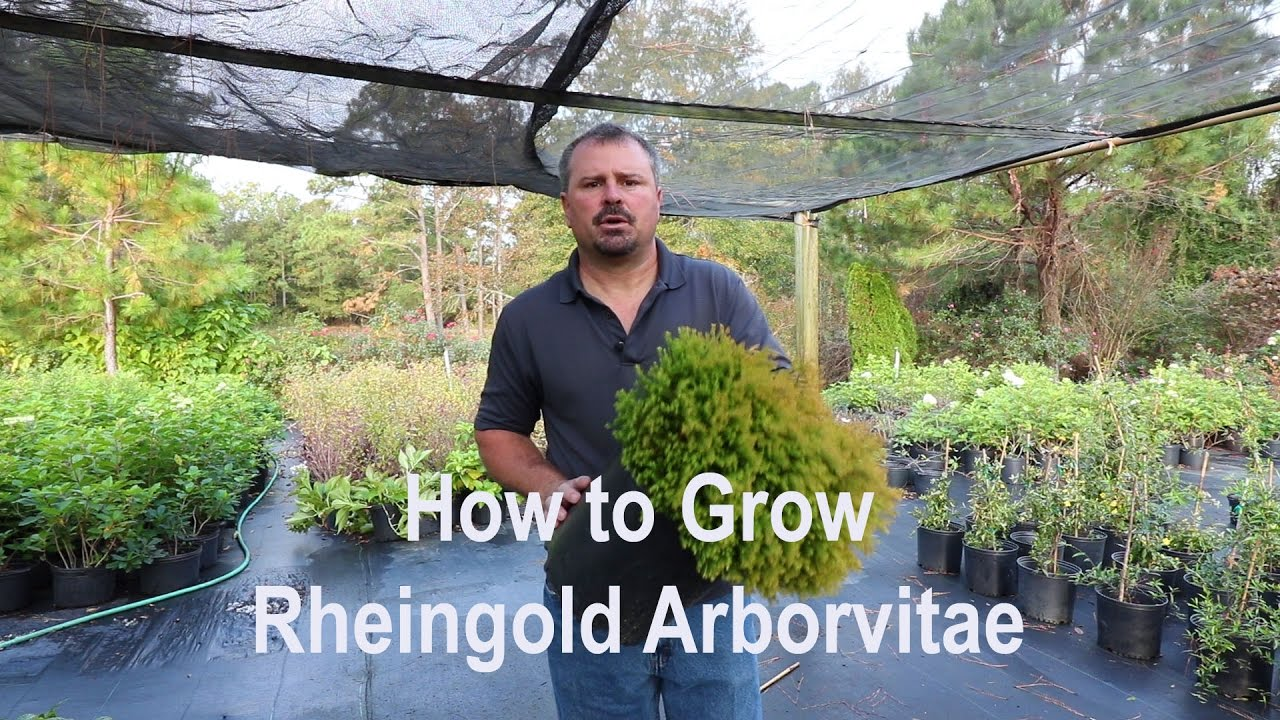 Thuja Rheingold How To Grow Rheingold Arborvitae Thuja With Detailed Description
