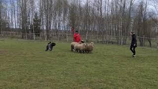 Bouvier des flandres, Koko herding beginning 08052021