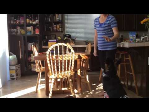 German Shepherd and Cat Training My wife trying to train cat and dog simultaneously GSD Kara