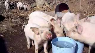 水を汲んでいたら仔豚達に襲われました。