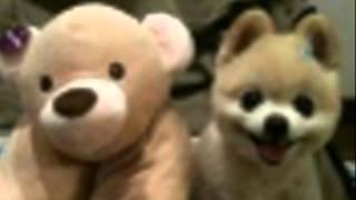 アイドル犬俊介ちゃん 俊介くん 検索動画 14