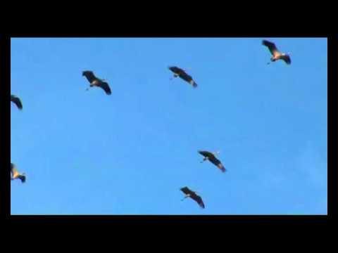 Как кричат журавли когда летят
