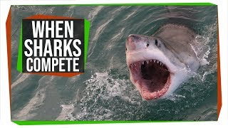 Great Whites May Have Taken Out Megalodon 3.6 Million Years Ago | SciShow News