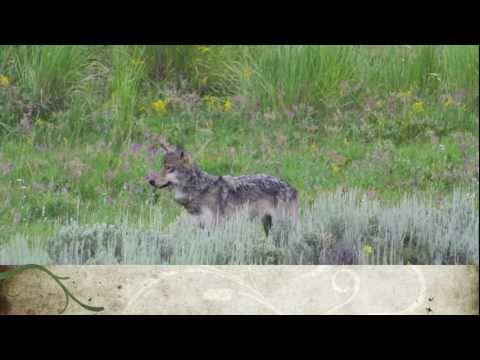 Bear, Wolves, Elk, and Ravens in Yellowstone National Park