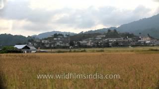 Ripe Paddy fields and Village beyond in Ziro, Arunachal Pradesh