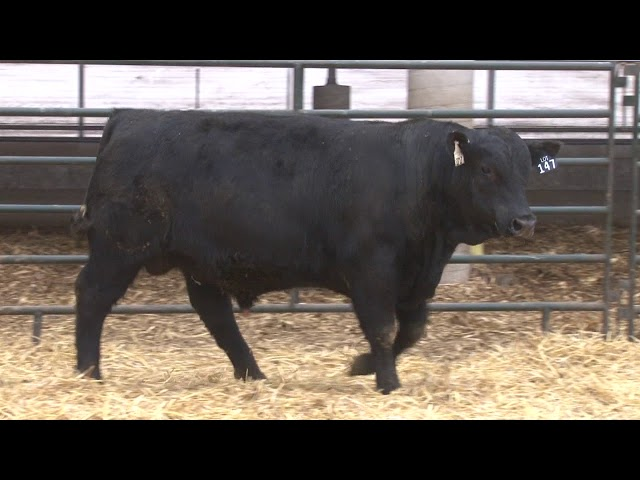 Schiefelbein Angus Farms Lot 147