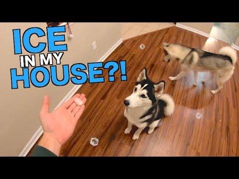 siberian-husky-plays-in-ice---inside-my-house!