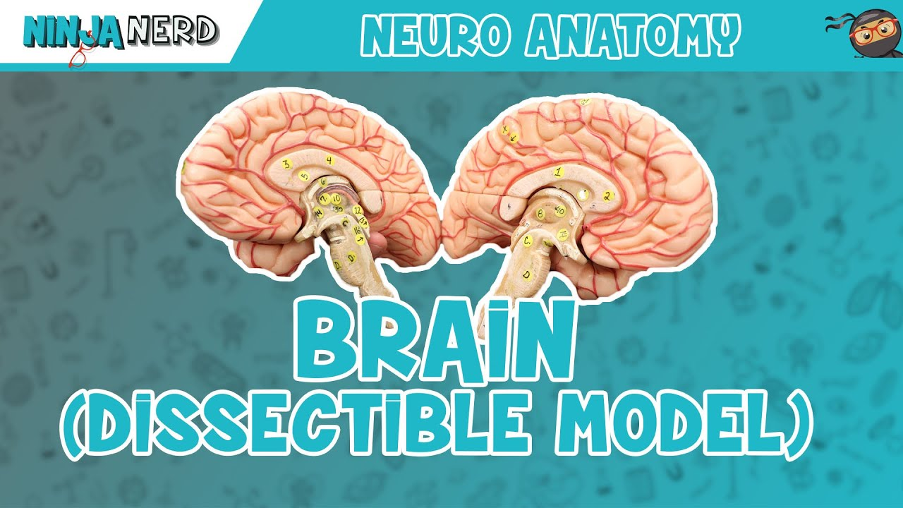 Anatomy of the Brain   Dissectible Model - YouTube