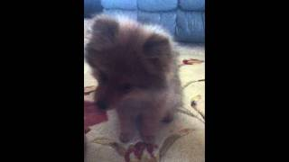 How To Teach Your Puppy Pomeranian To Hi Five/shake :d
