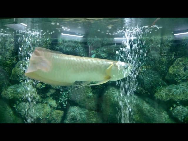 Vaasthu fish