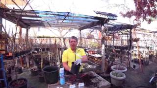 The Art of Potting Japanese Maples with Barry Hoffer part 1