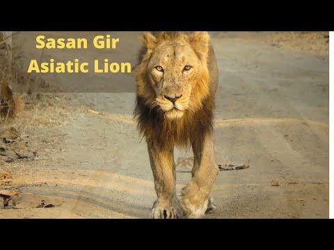 Asiatic lion Gir forest | Shree Rajyash Holidays Mumbai