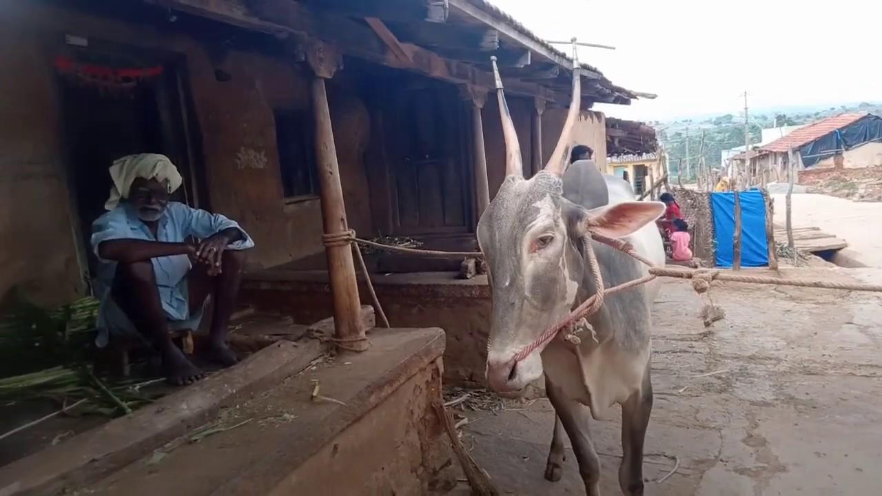 90+ Aged Senior Farmer Owned Hallikar Stud Bull | Algadklu Village, Kanakapura Taluk