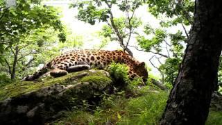 ID1558/ФГБУ Земля леопарда/Кошачьи/Хозяин заповедника Кедровая падь (6)