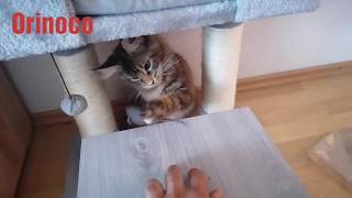 cat plays with mouse