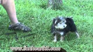 Dog Training Maltese X Yorkie Puppy With Play Retrieve