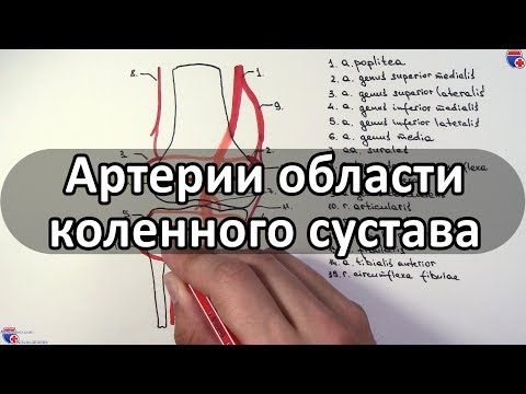 Артерии области коленного сустава и его кровоснабжение - meduniver.com