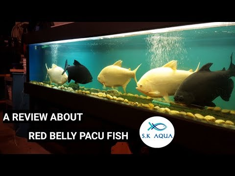 A Review About Red Belly Pacu Fish.[TAMIL]