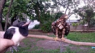 25.05.19 Орлан и птенец сороки :))) Как у нас появ...