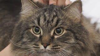 сибирская кошка. Все о сибирских кошках. Особенности породы и ухода. Характер сибирских кошек