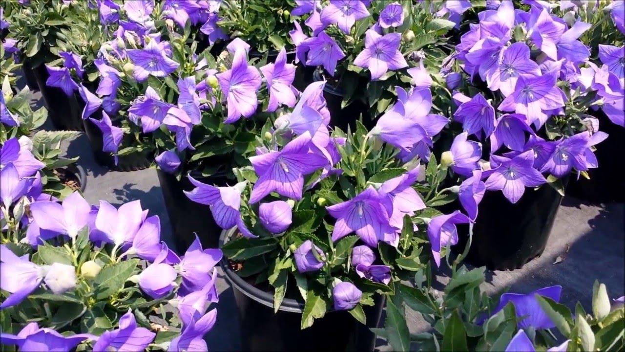 Best Perennials For Sun Platycodon Sentimental Blue Balloon