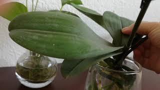 水培没有根的兰花终于长出新叶子。