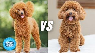 Toy Poodle vs  Miniature Poodle Dog Breed Information   Dogs 101