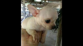 Chó kiểng Chihuahua thuần chủng 0974168738, 0899 311351
