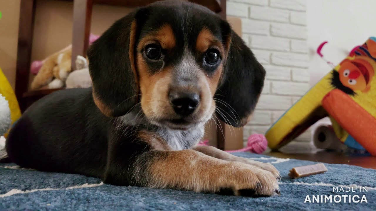 Super cute 2021 Hound puppy slideshow!