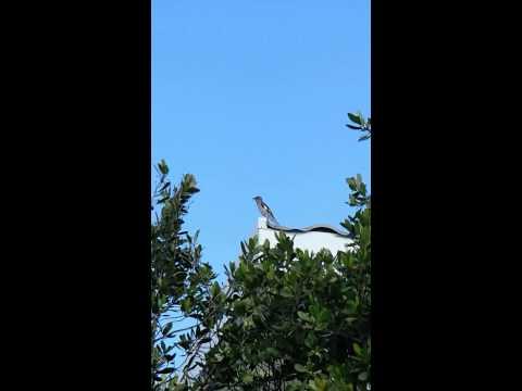 Cuba- Bird Singing