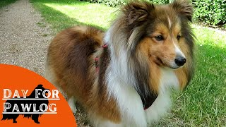 A day with a Sheltie   Part 2