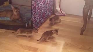Абиссинские котята и кошки. Дикий окрас