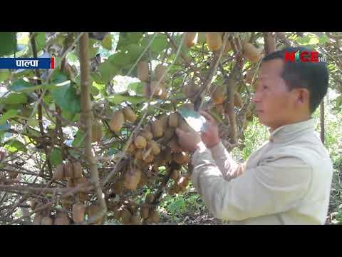 किवी खेतीप्रति नेपालमा आकर्षण बढ्दो | NICE News | NICE Samachar | NICE TV HD