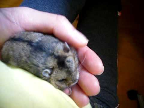 Putting a hamster to sleep video 1