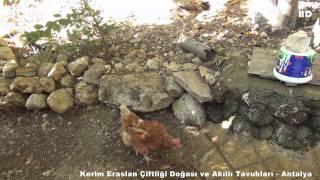 Kerim Eraslan Çiftliği Doğası ve Akıllı Tavukları - Antalya