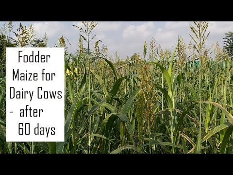 Green Fodder for dairy farms / High yielding Green fodder for dairy farms / Fodder Maize for Cows